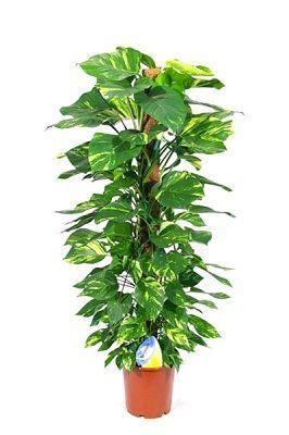 planta interior potho